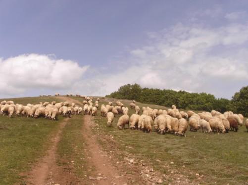 Sheep on the hills, Krusevo.