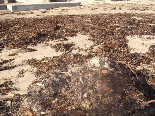 Sea weed, Looe beach.
