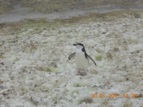 Chinstrap penguin on the ice.