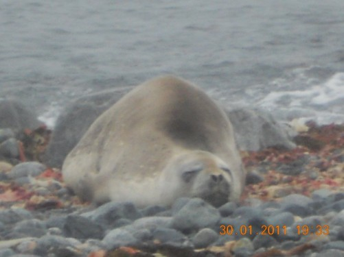 A Weddell seal lying on the beach.