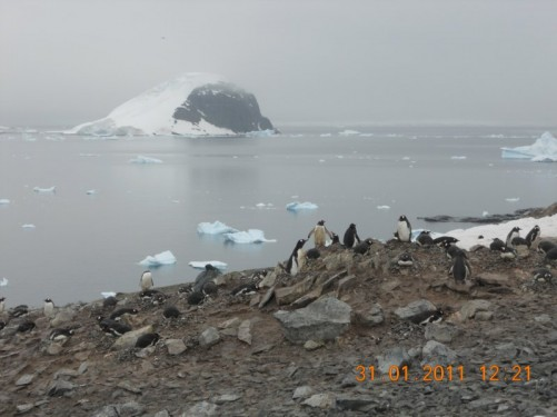 A closer view of Gentoo penguins nesting on rocks.