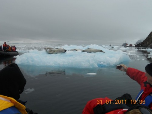 Approaching a group of crabeater seals on a floating platform of ice. The ice has a pale blue tint to it.