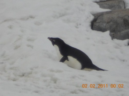 A young Adelie penguin lying on the snow.