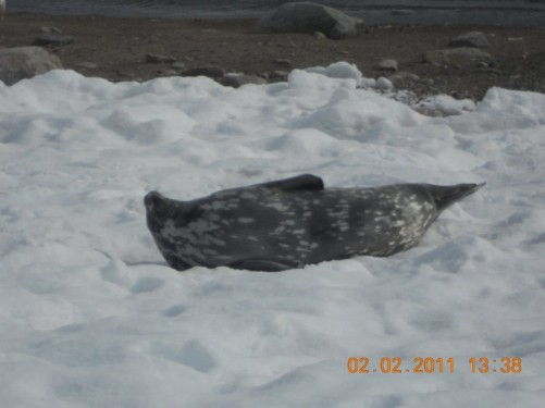 A Weddell seal on its back in the snow.