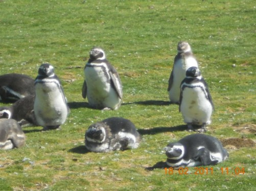 A colony of Magellanic Penguins.