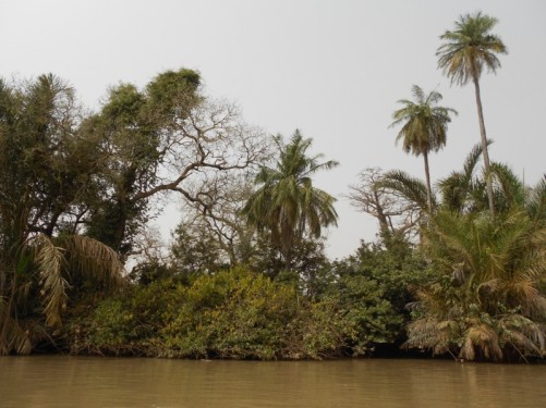 Dense vegetation at the side of the river, looking for chimpanzees.