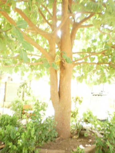 The Freedom Tree.
