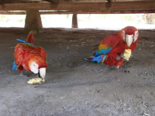 Two colourful parrots in one of the villages.
