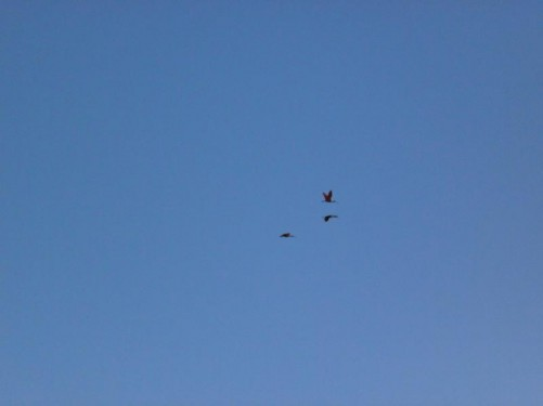 Three scarlet ibis flying high-up overhead. These are large bright red birds with long beaks.