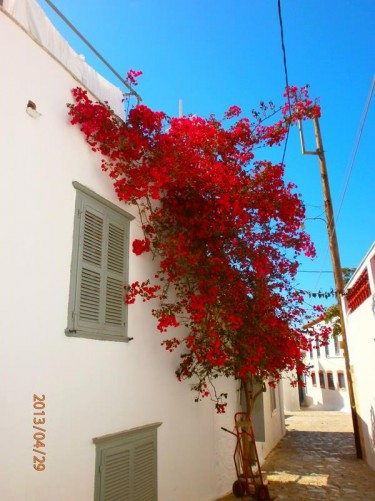 A shrub covered with bright red blossom outside a house. On a narrow side street in Hydra town.