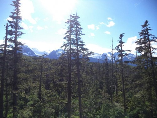 View out over the trees with snow-capped mountains with glaciers in the distance. A sunny day in Alaska!