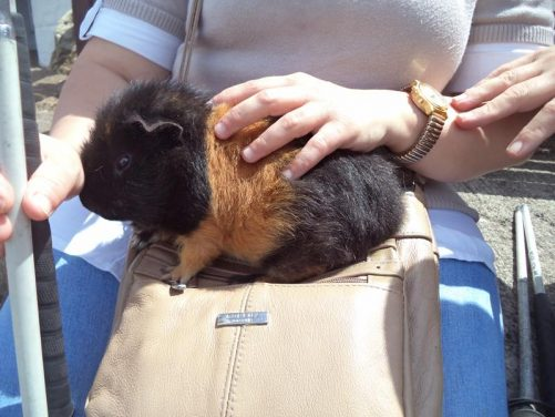 Close-up of the guinea pig.