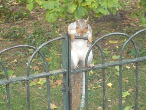 Squirrel, St. James's Park, London