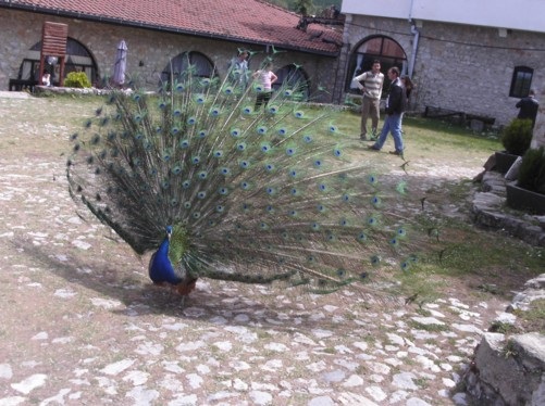 A multi-coloured peacock in the monastery grounds.