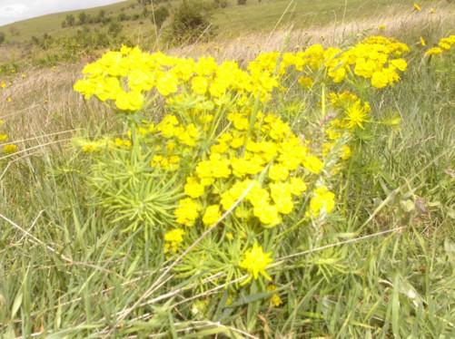 Flowers, Krusevo hills.