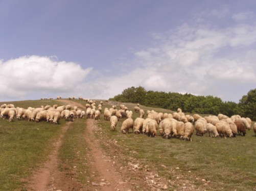 Sheep on the hills, Krusevo.