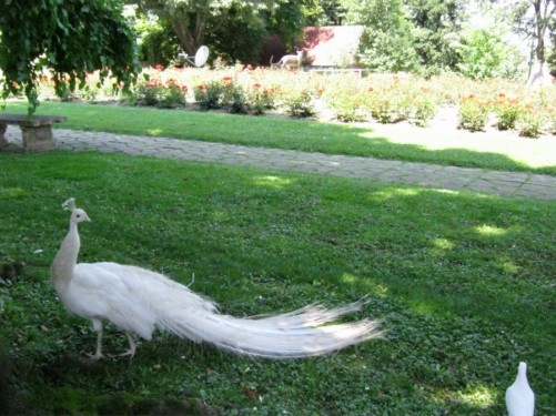 A white peacock at Belgrade Zoo.