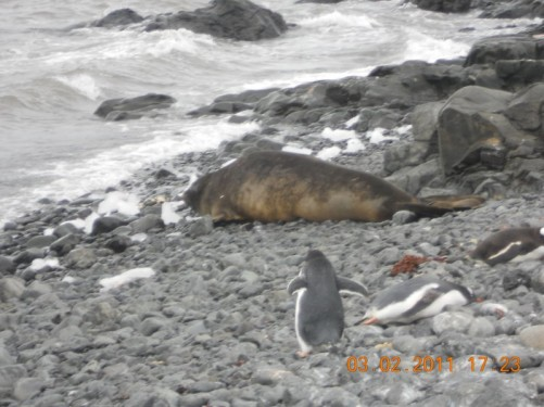 Gentoo penguins and a seal on Liverpool Beach.