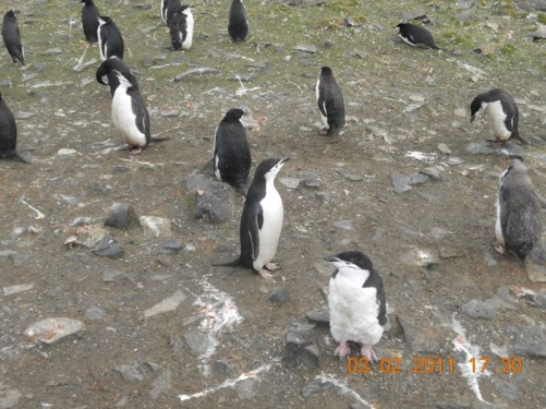 A closer view of the Chinstrap penguins.