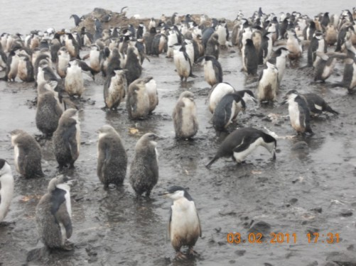 More penguins, most are Chinstrap, but the group also encountered their 4th different penguin species – the Macaroni penguin - nesting among the Chinstrap.