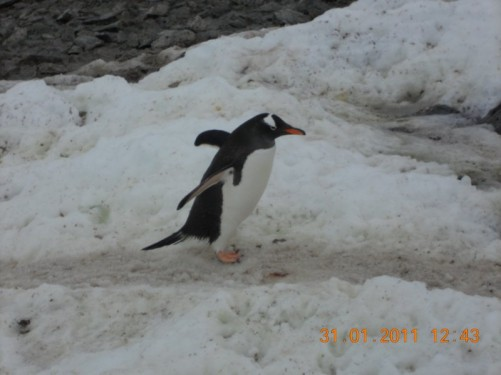 A single Gentoo penguin waddling along.
