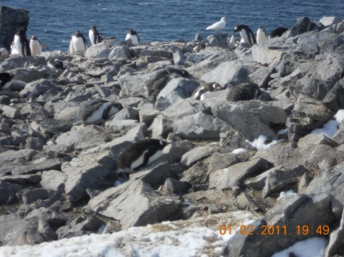 Gentoo Penguins nesting on the rocks. A Snow Petrel can also be seen.
