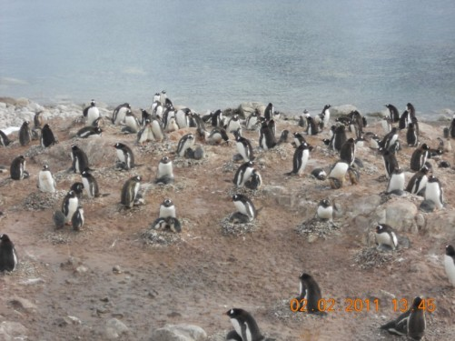 A colony of Gentoo penguins on rocks above the beach, many with nests and chicks.