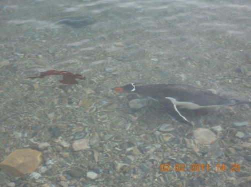A Gentoo penguin swimming in shallow water.