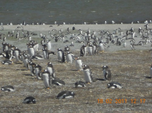 A colony of Gentoo Penguins, mostly quiet though!