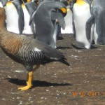 Link to photos: Falkland Islands, February 2011
