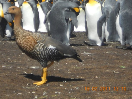 Close-up of an Upland Goose, King Penguins behind.