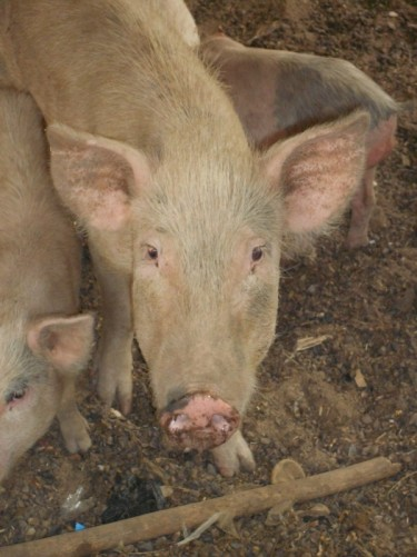 Close-up of the pigs.