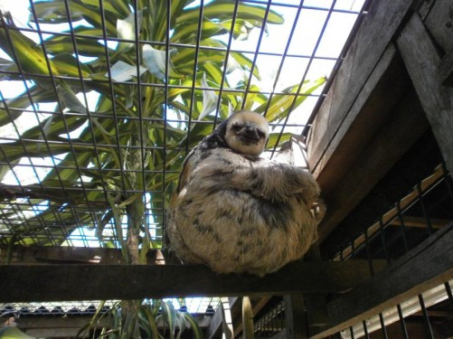 A sloth sitting on a wooden beam inside a cage. Taken at Chou Aï's Sloth Rescue and Rehabilitation Center, just outside Cayenne.