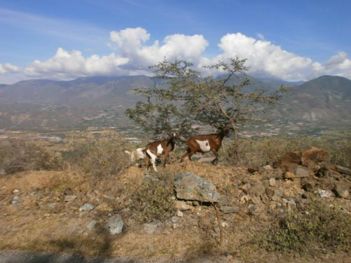 A pair of goats grazing by the side of the road.