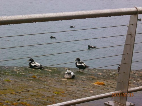 View through railings looking towards Aberdeen Harbour. Ducks sitting on the ledge in front and in the water down below.