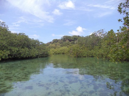 View along a channel inside the mangroves. The water is very shallow with thick vegetation on both sides.