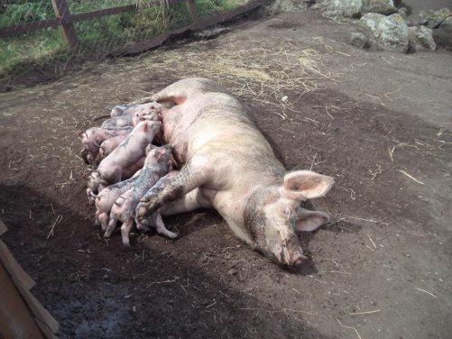 A pig with at least eight suckling piglets at Greeb Farm, a farm park located at a restored 200-year-old Cornish farmstead at Land's End.