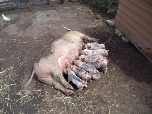 Another view of the muddy pig and piglets.