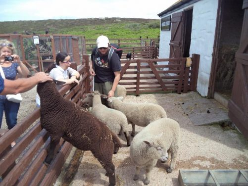 Tony, Tatiana and other visitors petting the sheep.
