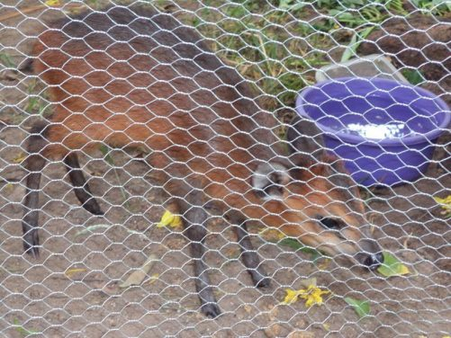 A royal antelope inside an enclosure at Hotel Mon Afric, Bouaké, central Côte d'Ivoire. A grand hotel and one of the country's most famous. Royal antelopes only grow to around 25cm in height.