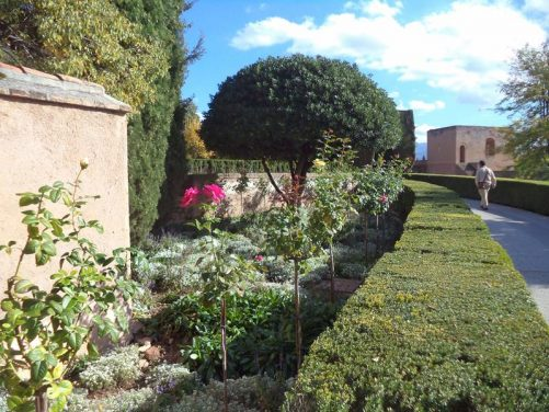 Roses growing next to a hedge-lined path within the Alhambra complex.