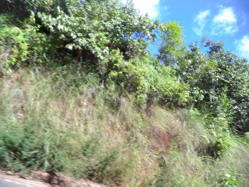 View of roadside vegetation taken from a moving car.