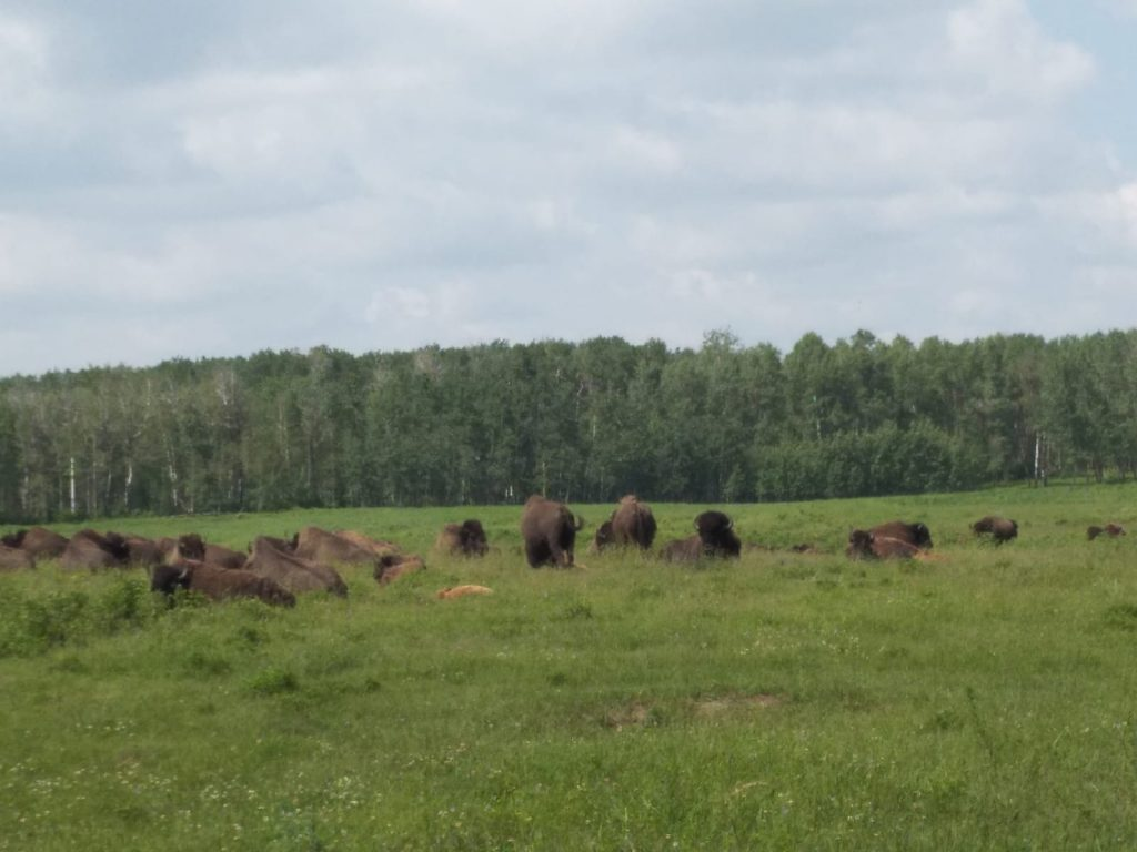 Group of approximately 25 bison sitting in long grass in the near distance. Woodland in the middle distance, Elk Island National Park.