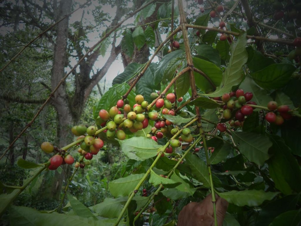 A cluster of fruit on the branch of a tree. The fruit are green ripening to a dark red. The fruit look quite similar to small plums.