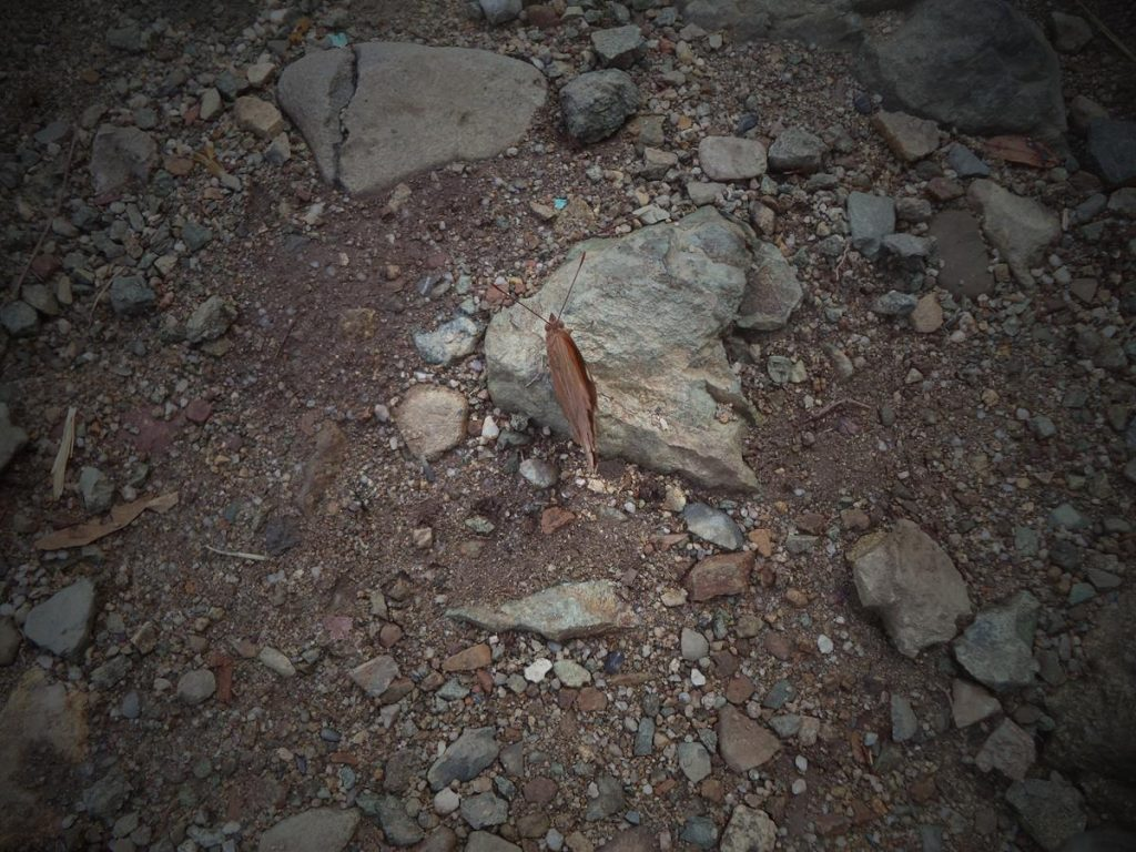 A moth with its wings closed sitting on a small rock near Baiguate Falls.