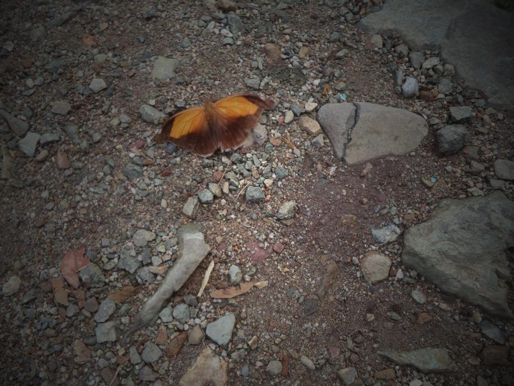 The moth with its wings open now. It is brown and orange in colour.