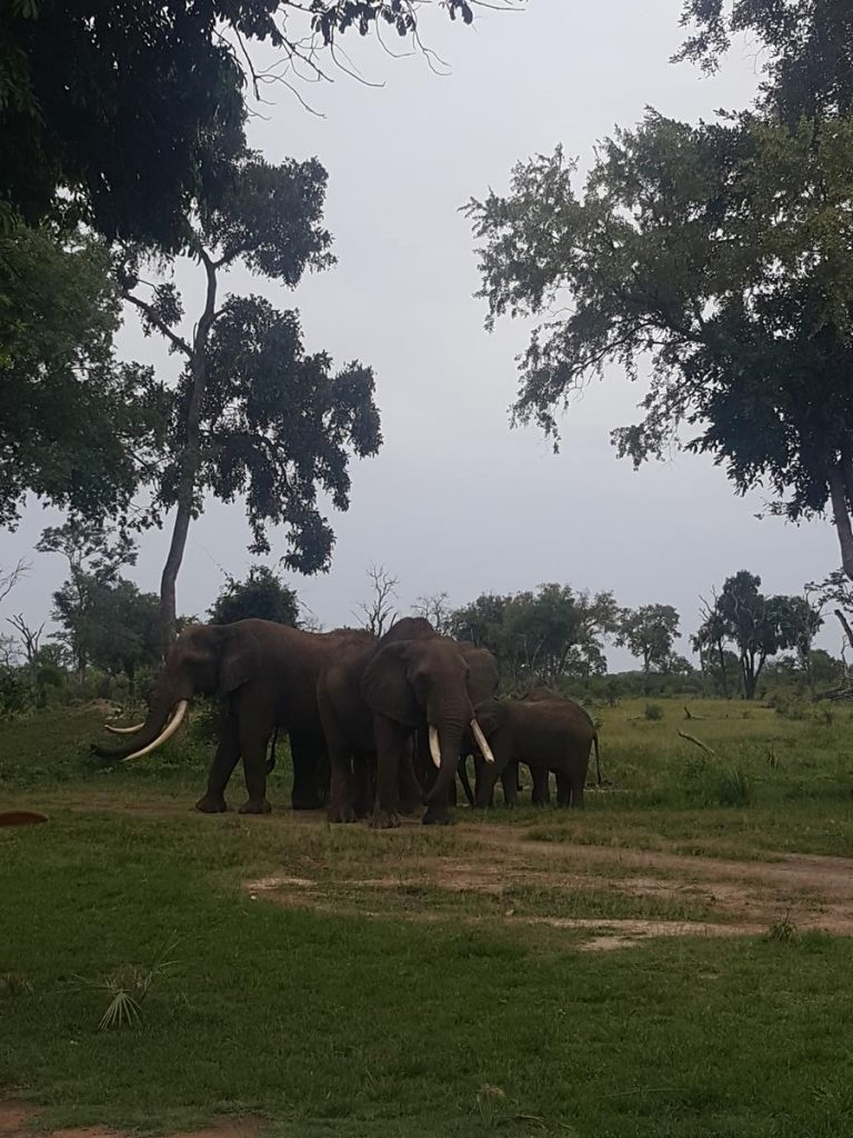Group of three adult elephants with two juveniles in the bush close to the ElephantCafe.