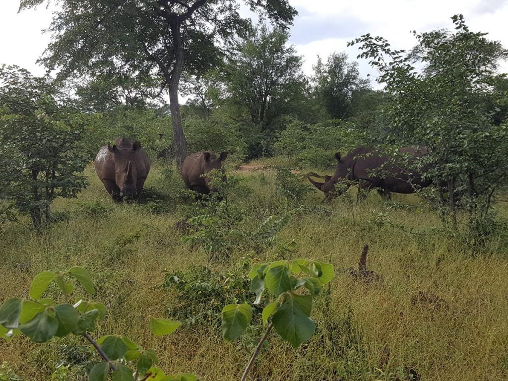 Another view of the two rhinoceros, with a third one now emerging from the right.