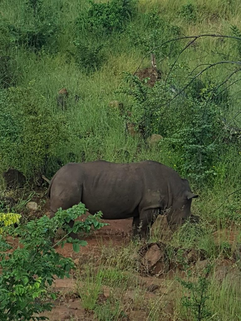 Zoomed in on another rhino standing in profile to the camera with its head down. Rhinos have eyes on the sides, rather than the front, of their heads, and their eyes are quite small relative to the size of their bodies.