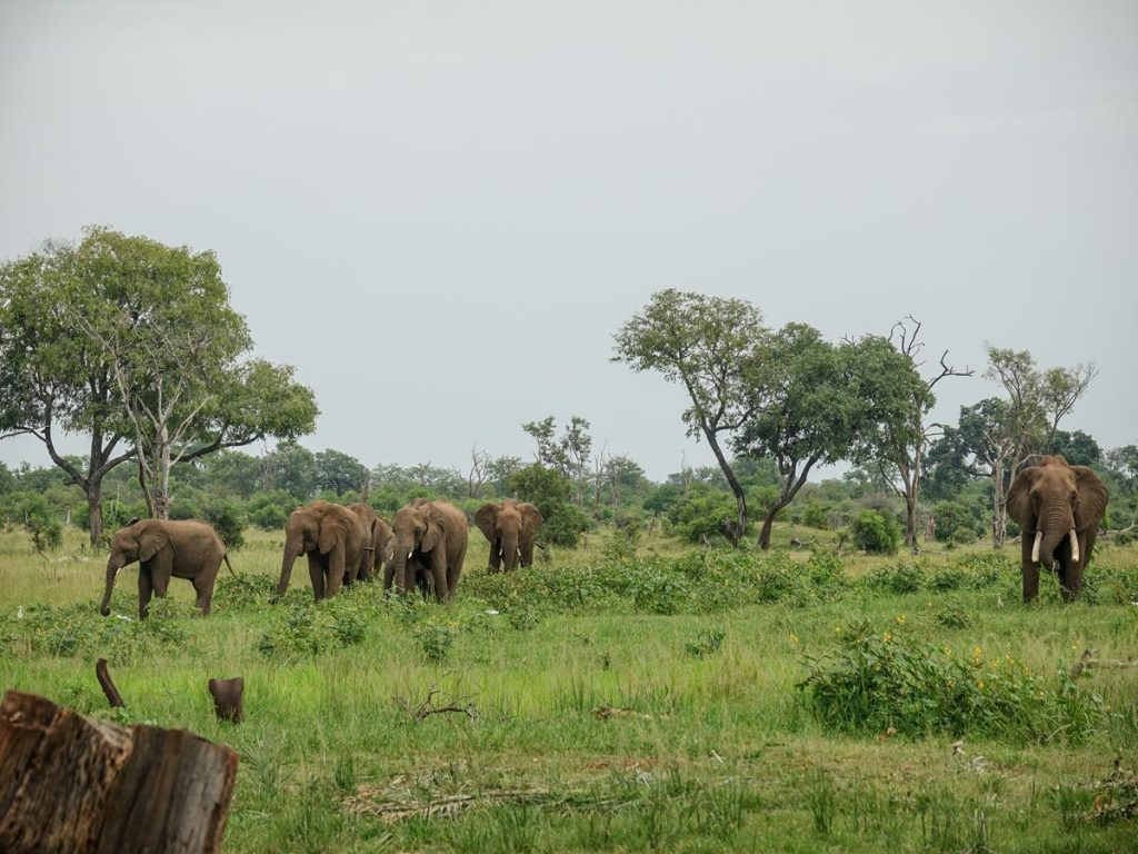A group of six adult elephants wondering in the surrounding bush. A younger elephant is almost hidden alongside one of the adults. The bush is part of Mosi-Oa-Tunya National Park.